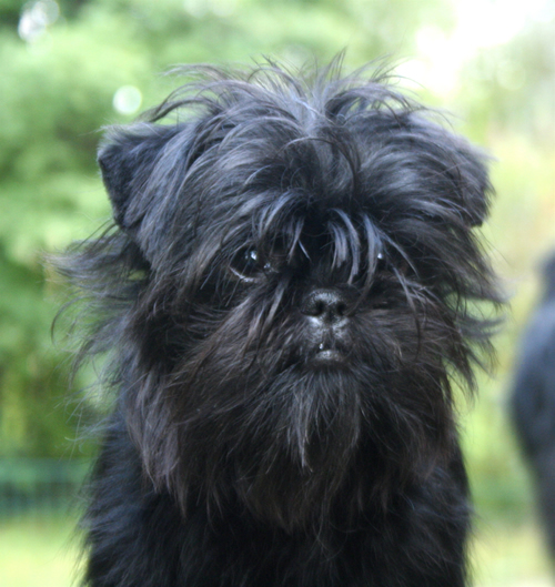 Do you know your dog breeds: Affenpinscher
