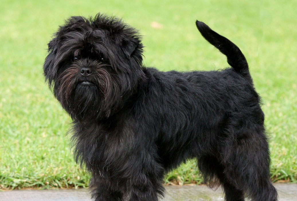Do you know your dog breeds: Affenpinscher | EZ Vet Pet Education and