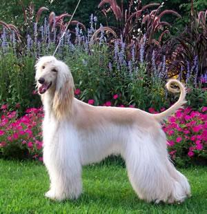 afgan hound