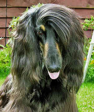 Do you know your dog breeds? Afghan Hound