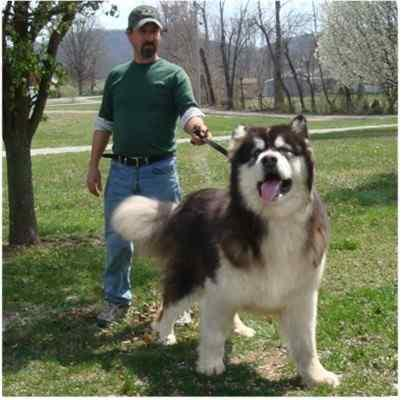 Alaskan Malamute Ez Vet Pet Education And News