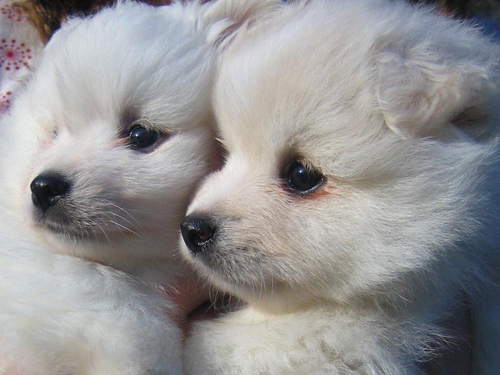 Do you know your dog breeds? American Eskimo Dog